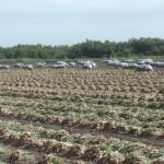 F84 - Horticultura Cebolla 02